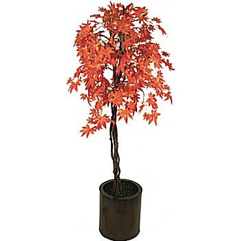 5ft Red Japanese Maple