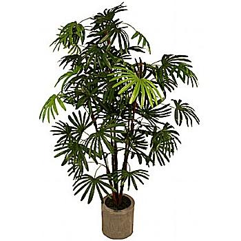 5ft Rhapis Excelsa Palm