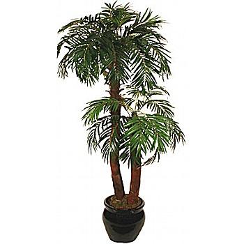 5.5ft Phoenix Palm