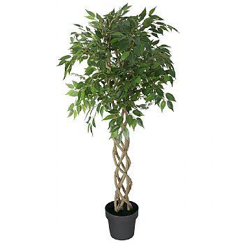 Ficus Benjamina Exotica Weeping Fig Tree £154 -