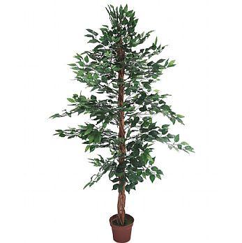 Ficus Benjamina Midnight Weeping Fig Tree - 6ft £70 -