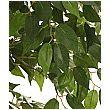 Ficus Benjamina Exotica Weeping Fig Tree