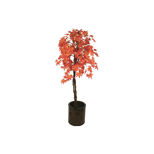 5ft Red Japanese Maple with Natural Stem