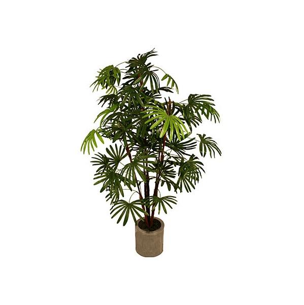 5ft Rhapis Excelsa Palm Tree