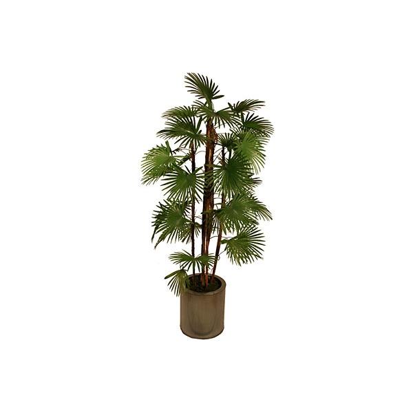 5ft Rhapis Fortunei Palm Tree