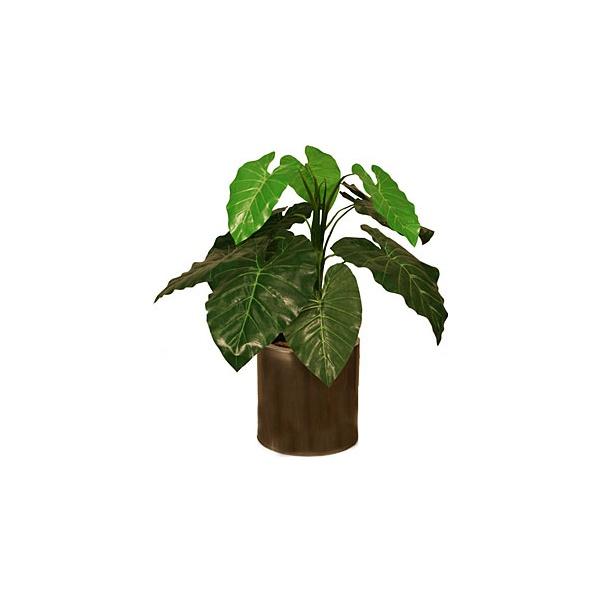 2ft Taro Plant