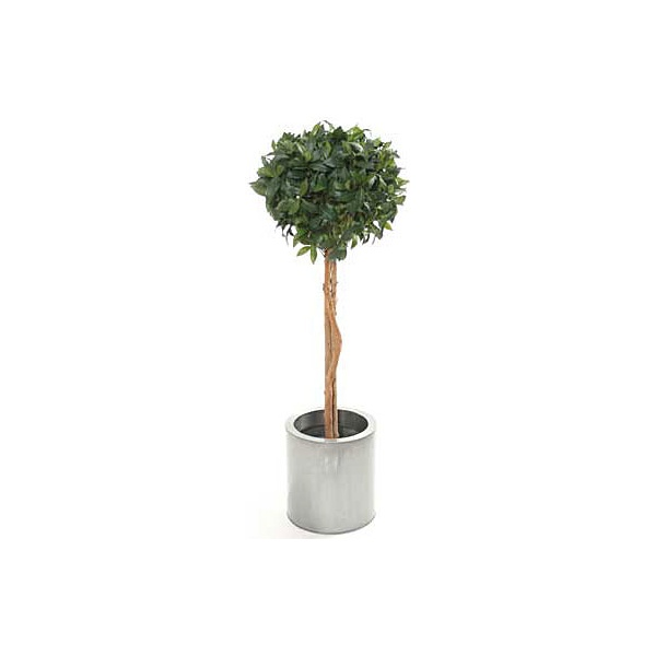 5ft Single Ball Bay Laurel Topiary with Natural Stem
