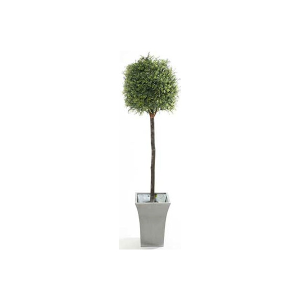 5ft Tea Tree Topiary with Natural Stem