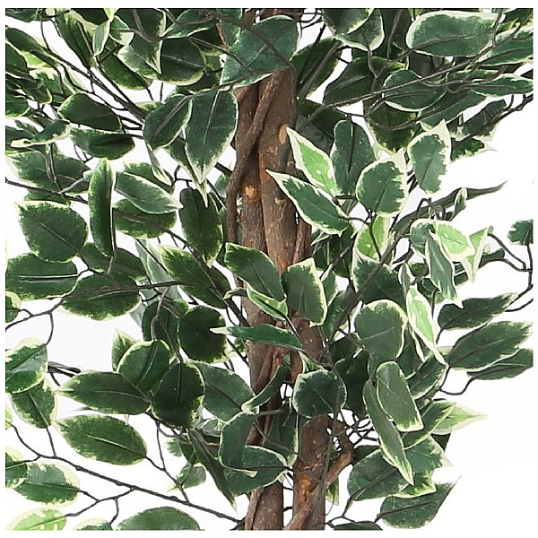 Ficus Benjamina Variegated Weeping Fig Tree - 6ft