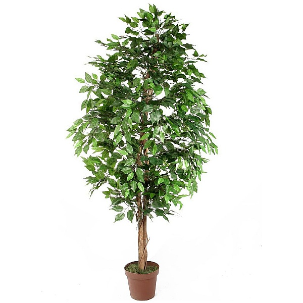 Ficus Benjamina Danielle Weeping Fig Tree - 6ft